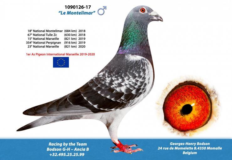 As pigeon europeen 1090126 17